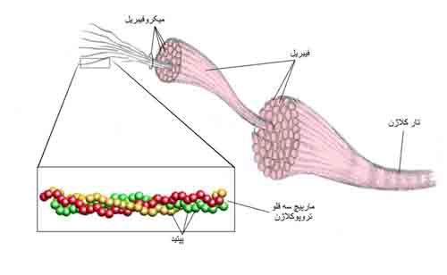 کلاژن در بدن